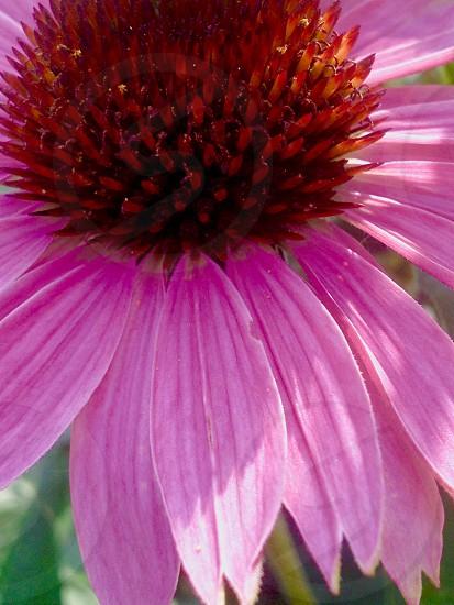 Pinkflowercoolnature photo