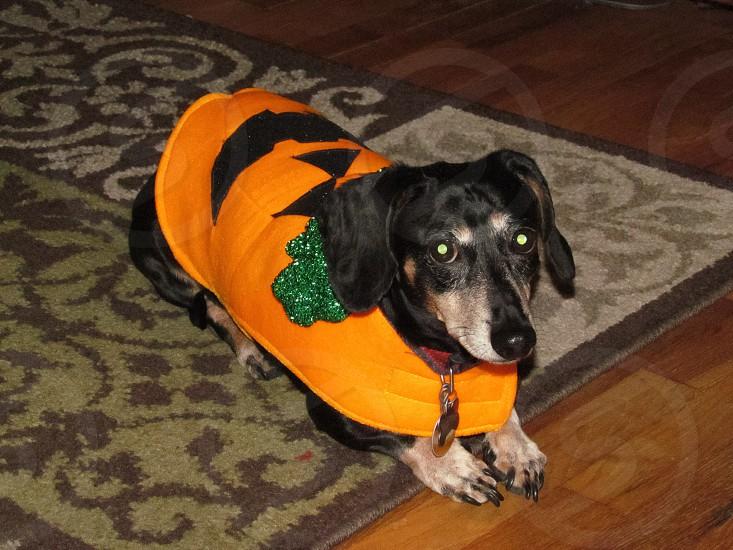 Weenie dog in his pumpkin Halloween costume photo