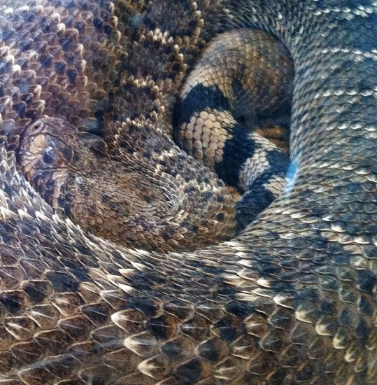 closeup photo of brown and black snake photo