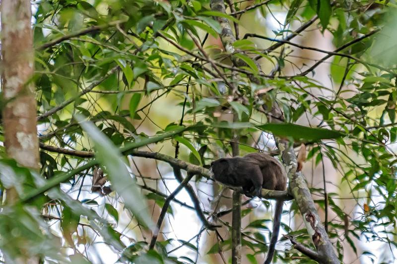 Tamarin Monkey photo
