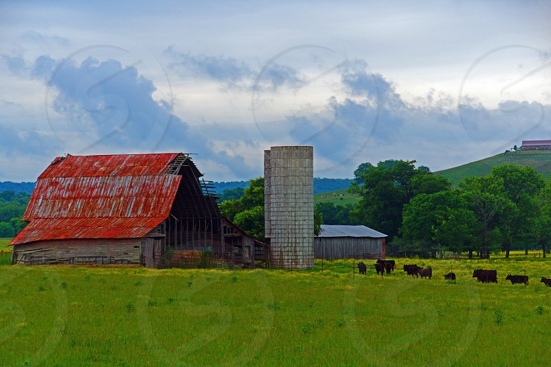 black cows with red barn and grain silo photo