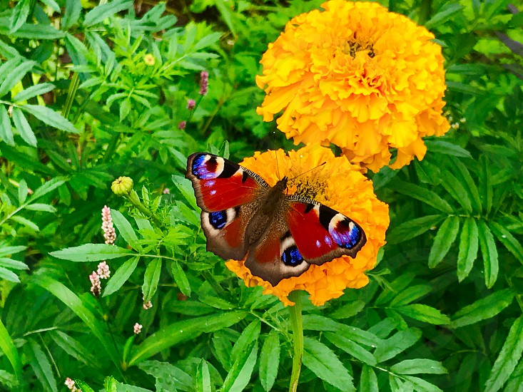 Butterfly Russia summer photo