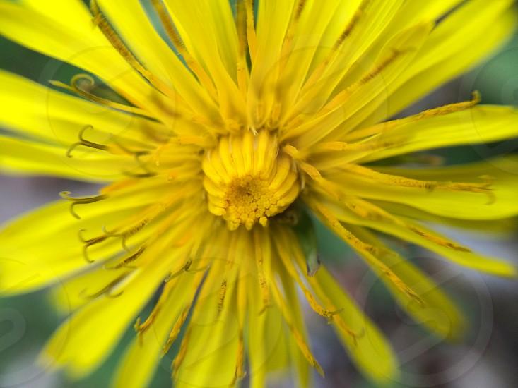 Dandelion. photo