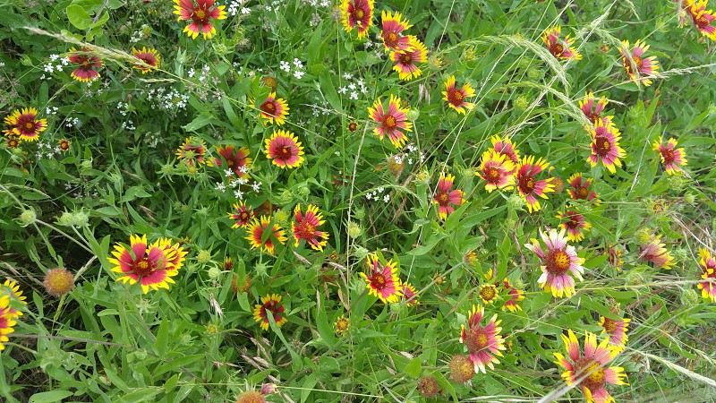 Texas Wildflowers photo