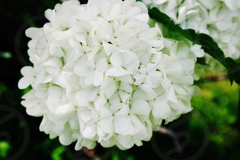 Pretty white poufy flowers photo