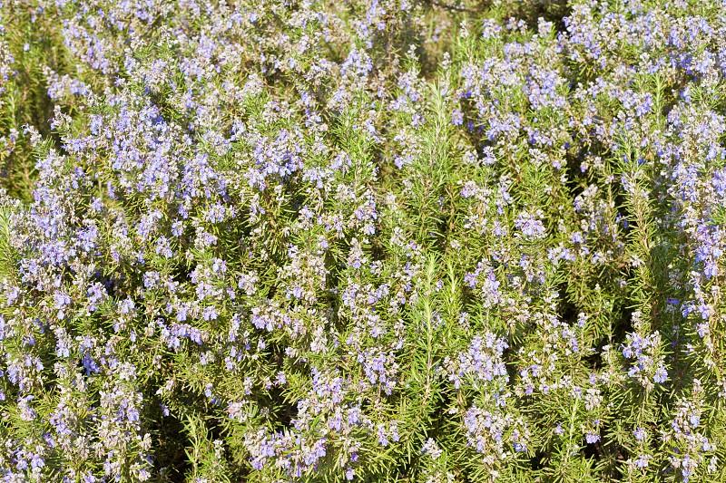 Blooming kitchen herb Rosemary Rosmarinus officinalis full frame as herbal nature background photo
