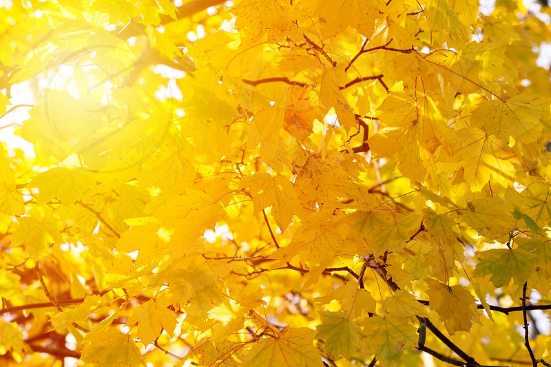 Autumn Yellow Leaves Fall Backdrop