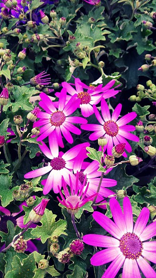 flowers violet purple photo