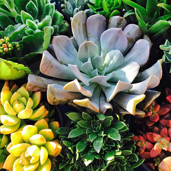 Drought friendly succulent plants photo