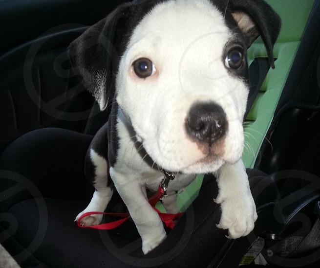 Puppy. Car seat. photo