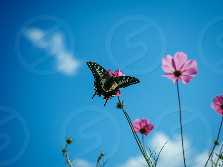 black and gray monarch butterfly perching on flower taking nectar photo