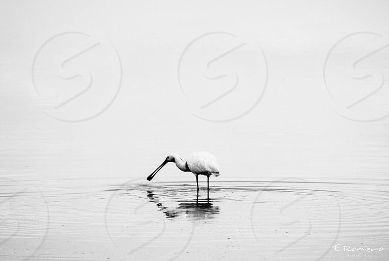 grayscale photography of spoonbill on calm body of water photo