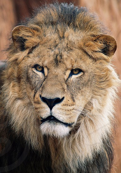 lion big cat family cat beautiful king of the beasts photo