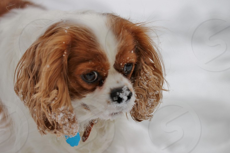 white and brown pekingese dog photo
