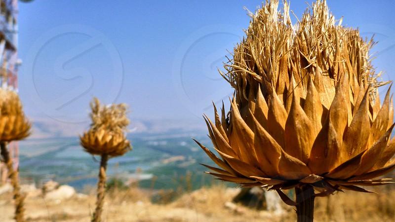 Big dried bur in the desert. Israel photo