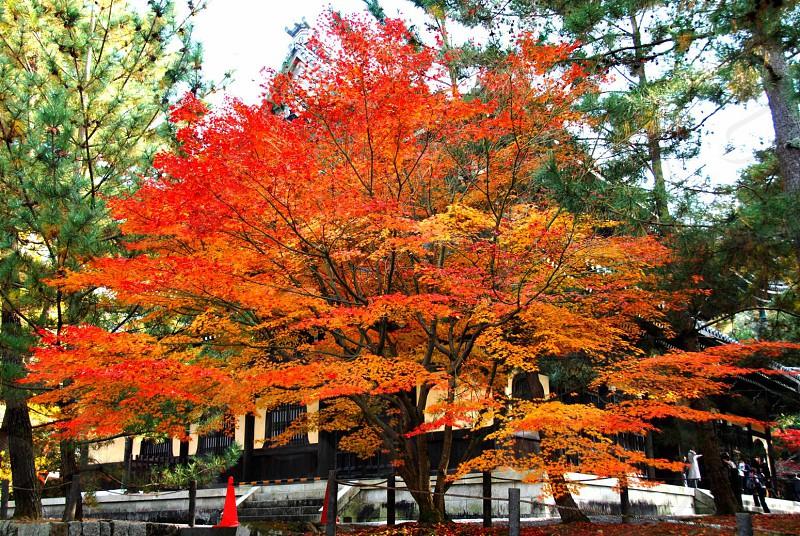 大舞踊 南禅寺 は、京都市左京区南禅寺福地町にある、臨済宗南禅寺派大本山の寺院である。見ているとまるで舞踊でも踊るかのような振舞っている光景であった。これこそ綺麗に仕上がった紅葉だと思った1枚である。 photo