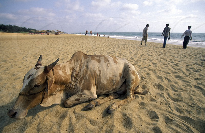 a cow on the beach of Anjuna in the Province Goa in India. photo