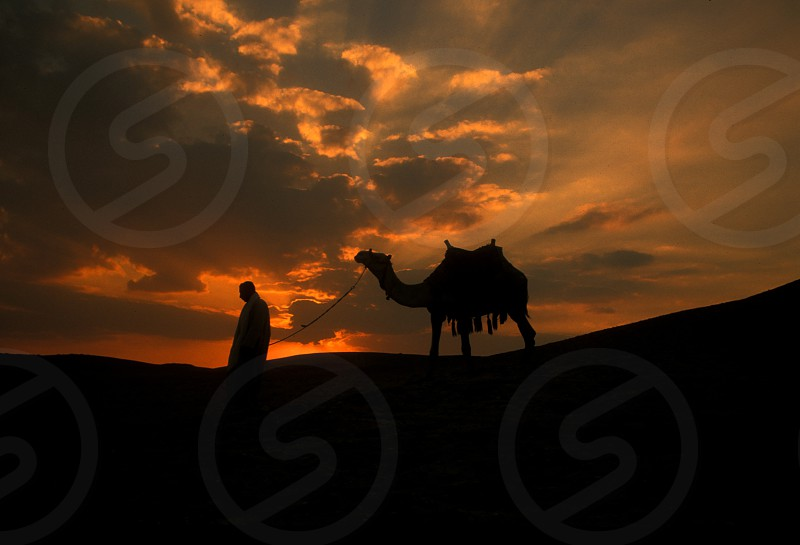 a camel in the desert of sahara near the village of  the oasia of siwa in Egypt in North Africa.  photo