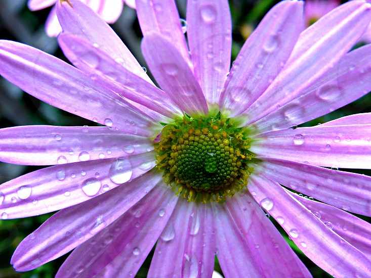 flower pink raindrops nature  photo