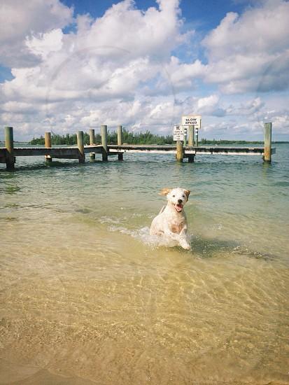yellow labrador retriever on water photo