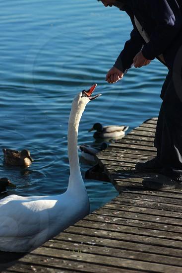 feeding a swan in France photo