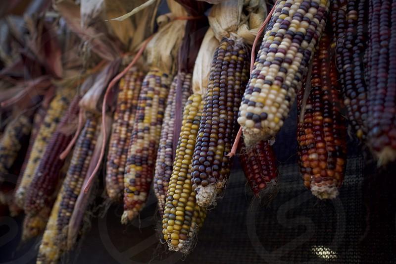 Autumn Harvest Colorful Indian Corn      photo