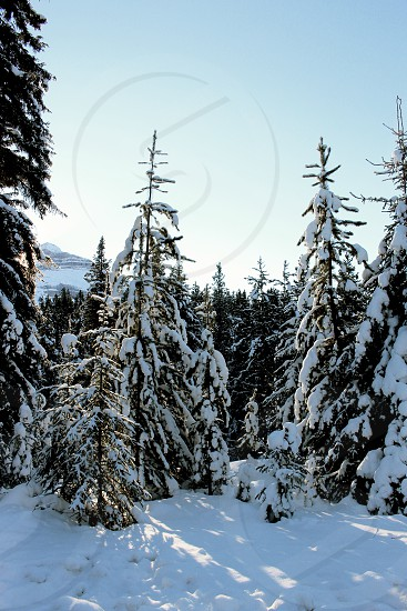 Winter trees forest Banff light snow Alberta travel explore photo