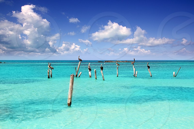 Caribbean pelican on turquoise beach poles in tropical seascape view in Mexico photo