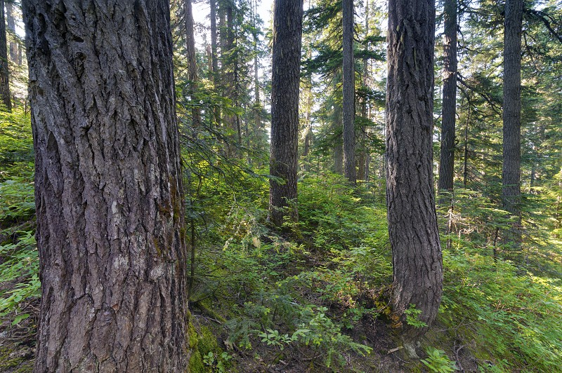 Pacific North West Rainforest Landscape Trees Washington State and British Columbia. photo