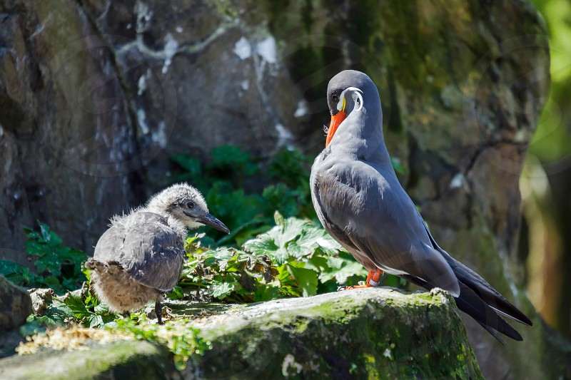 Inca Tern (Larosterna inca) and Chick photo