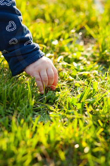 Closeup of child's hand collects daisies in outdoors. photo