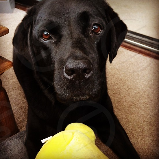Brodie is a 7year old black Labrador she has always kept her 'puppy' look ❤️ photo