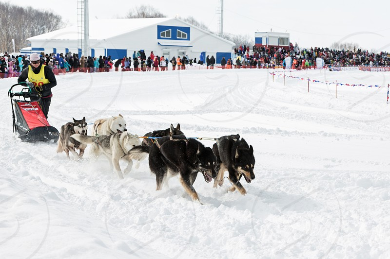 PETROPAVLOVSK-KAMCHATSKY KAMCHATKA RUSSIA - MARCH 2 2014: Kamchatka Dog Sledge Racing Beringia. Race-prologue distance of 10 kilometers. photo
