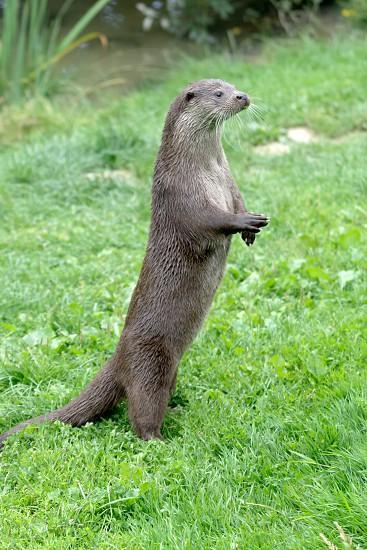 Eurasian Otter (Lutra lutra) photo