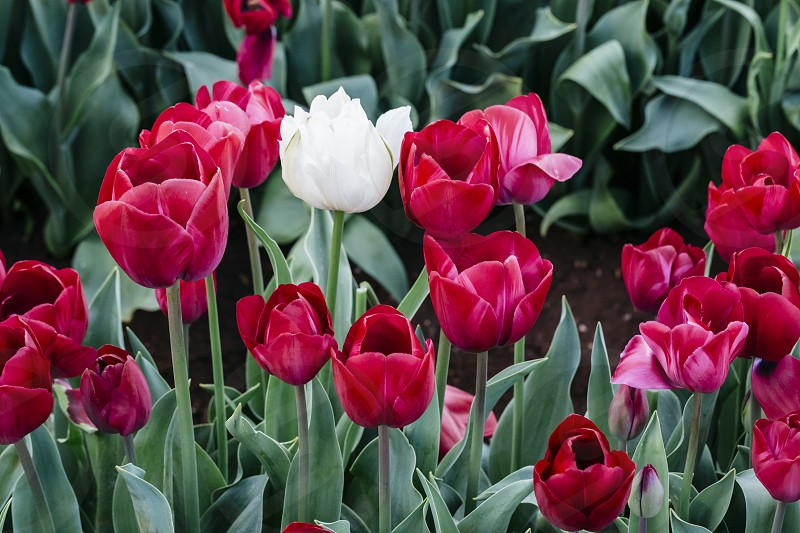 tulip tulips tulipa spring flowers bulbs flowering red burgundy maroon purple field backgrounds photo