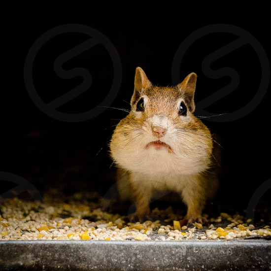 close up photo of brown and beige squirrel on grey metal surface with grains with black background photo