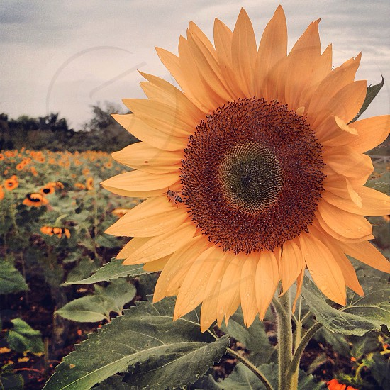 sunflower during day time photo