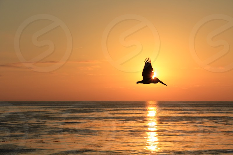 Timing lighting perfect amazing pelican bird sunset San Diego  photo