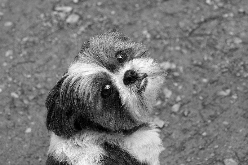 gray scale photo of furred dog photo