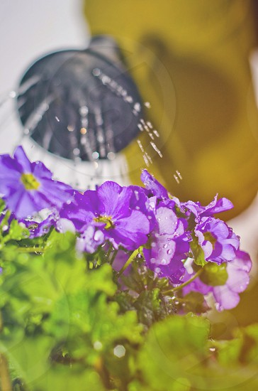 person watering purple flowered plant photo