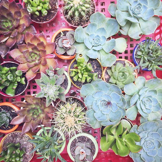 Succulents cactus green plants potted plants photo