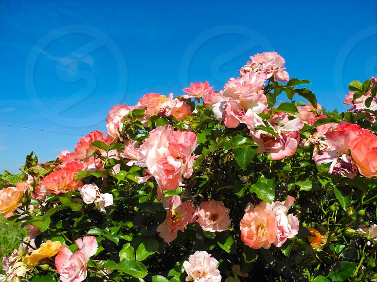 pink and white petaled flower during daytime photo