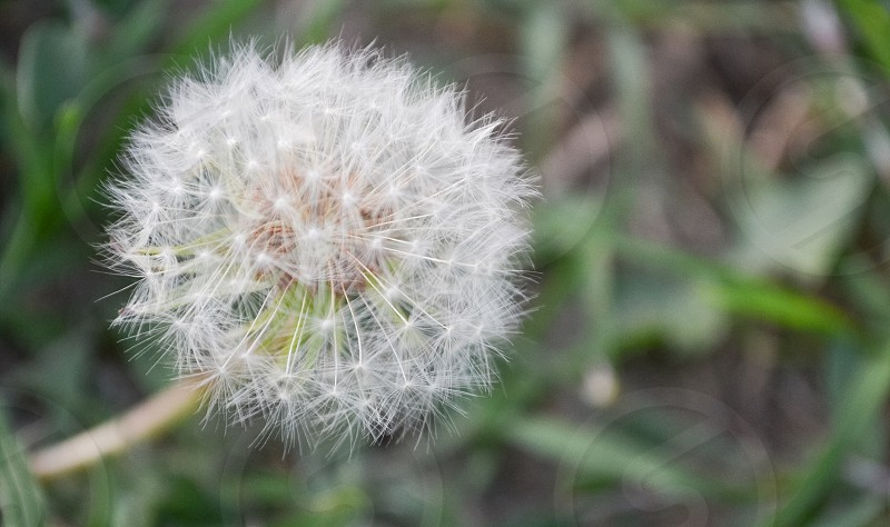 A dandelion  photo