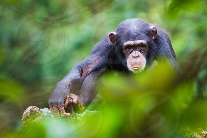 A Chimpanzee in Sierra Leone photo