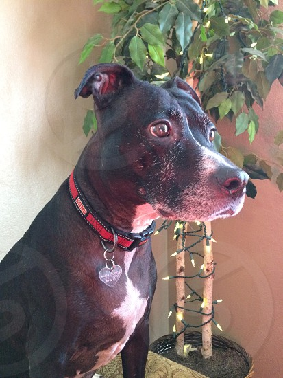 adult black and white American pit bull terrier photo