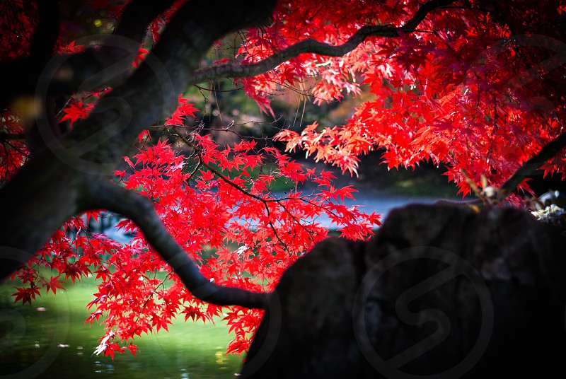 Bright red Japanese maple overhanging water photo