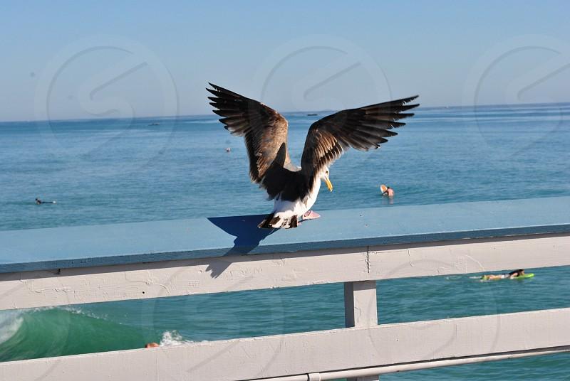 C Gull photo
