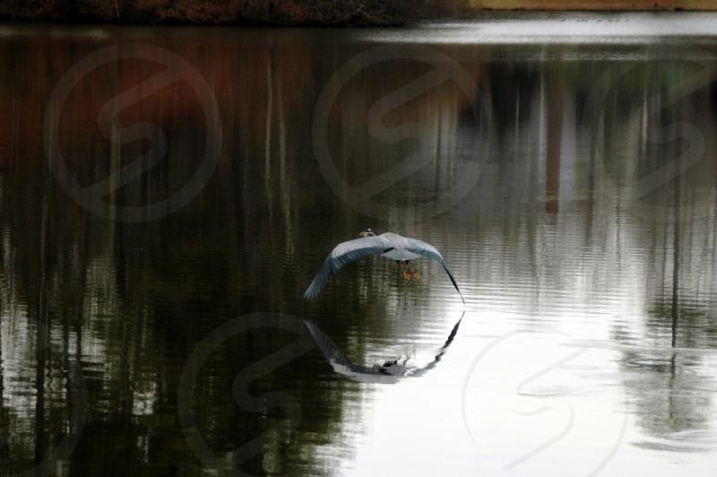 A heron flying over a lake in Cary North Carolina photo