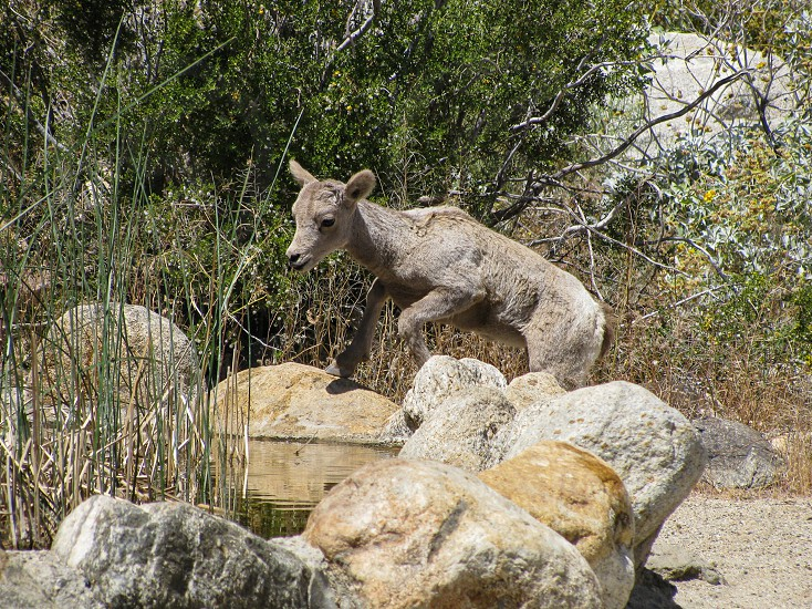 Baby bighorn lamb seeking water on a hot desert day Anza Borrego State Park California where these sheep are on the state's endangered species list. photo