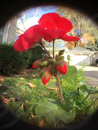 Redflowersbuds photo